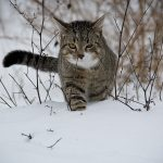 Winter Safety: How to Keep the Felines Warm